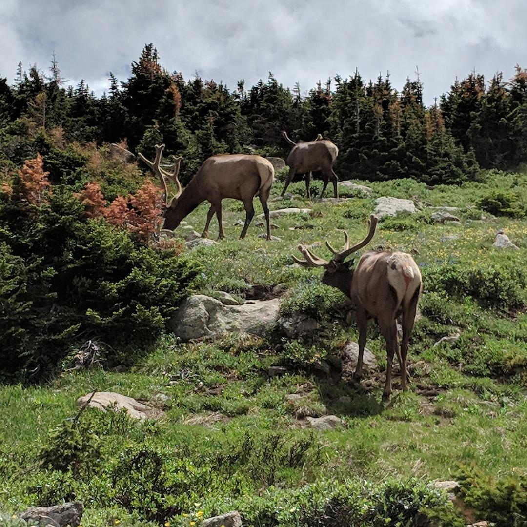 Amazing elk on trail ridge road in Rocky Mountain National Park
