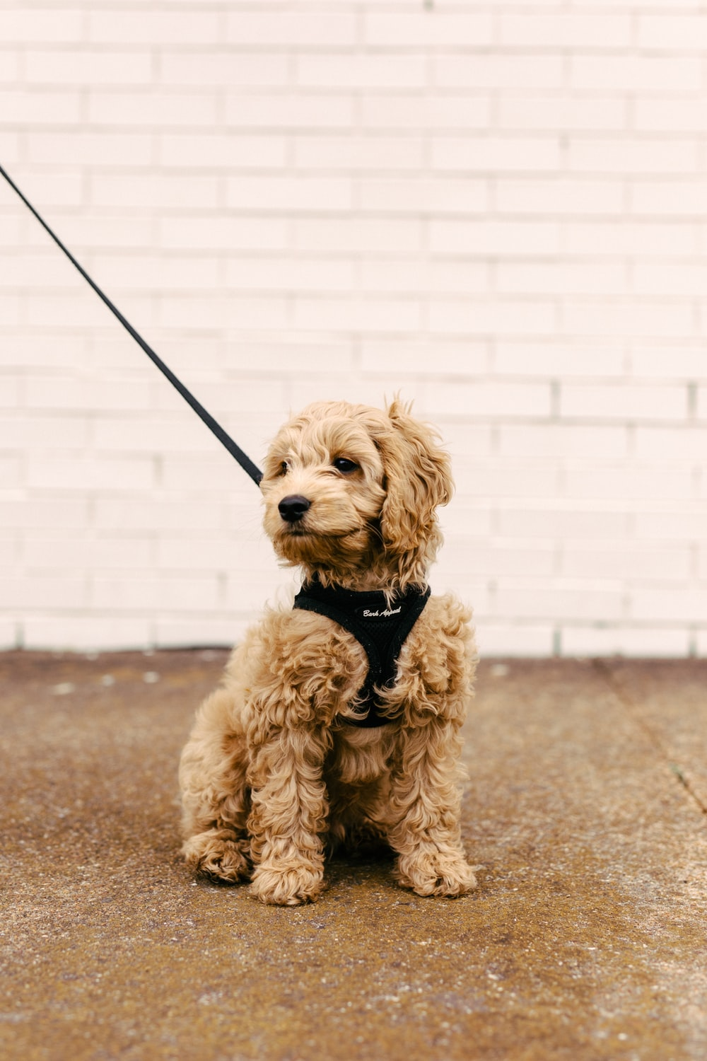 brown poodle puppy on brown concrete floor