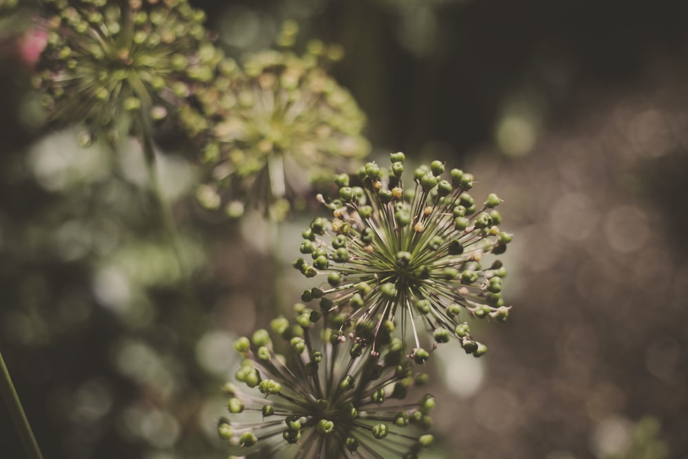 green and white flower buds