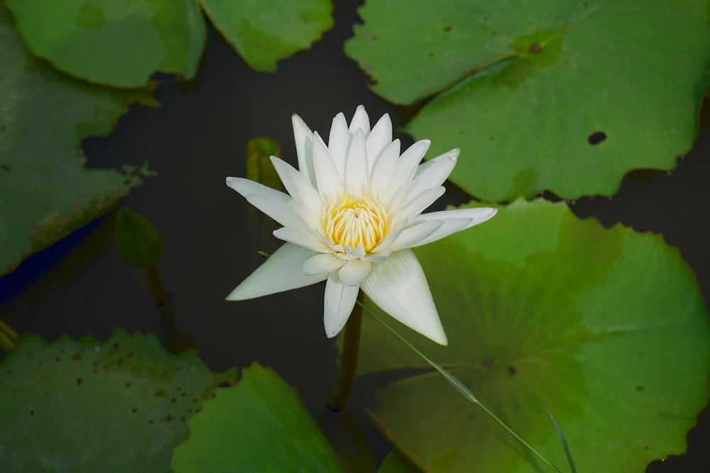 white lotus flower in bloom