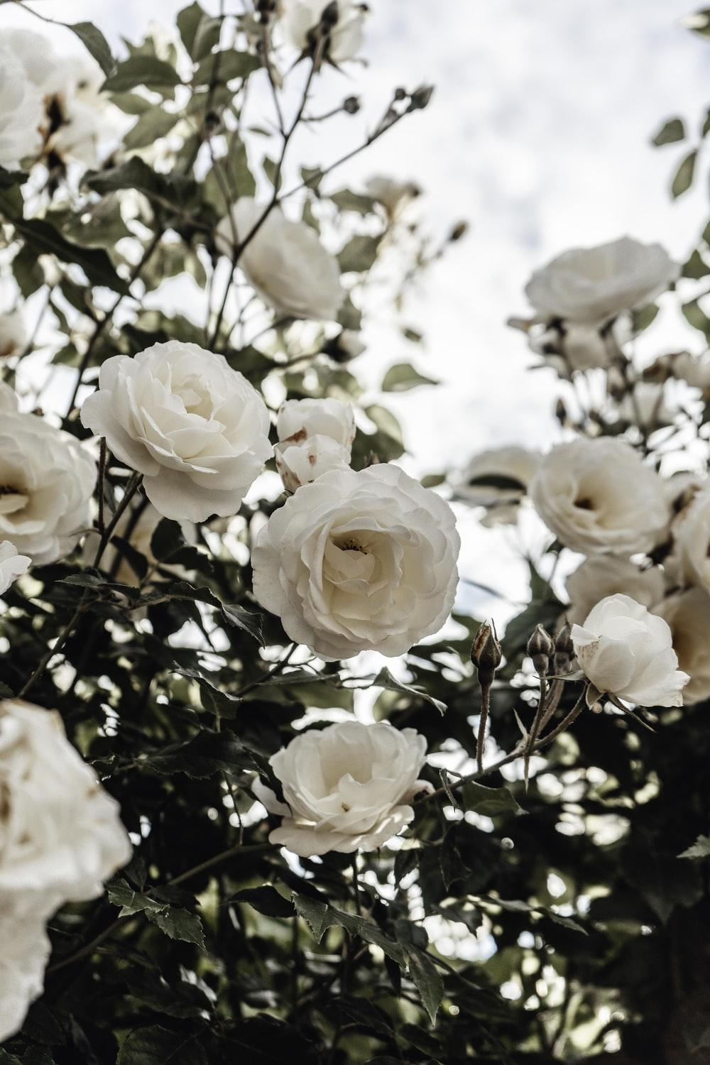 white roses in bloom during daytime