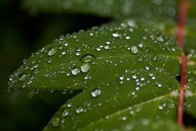 water droplets on green leaf four leaf clover teams background