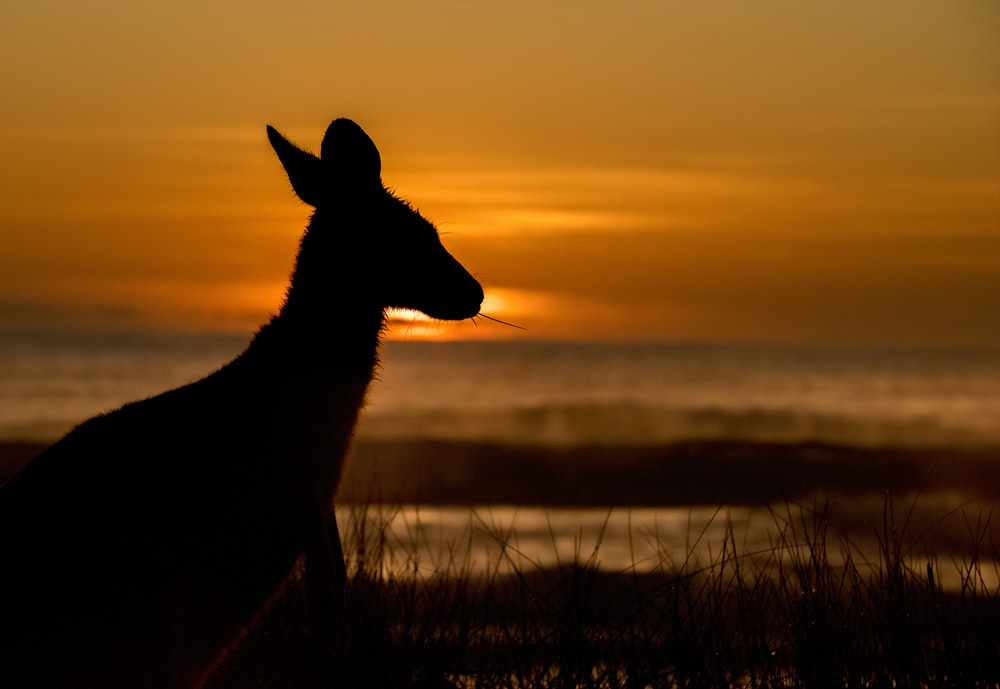 silhouette of deer on grass field during sunset