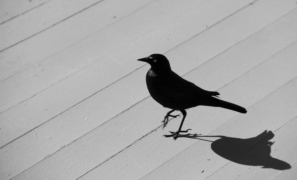black bird on white wooden fence