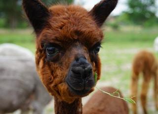 brown and black llama during daytime