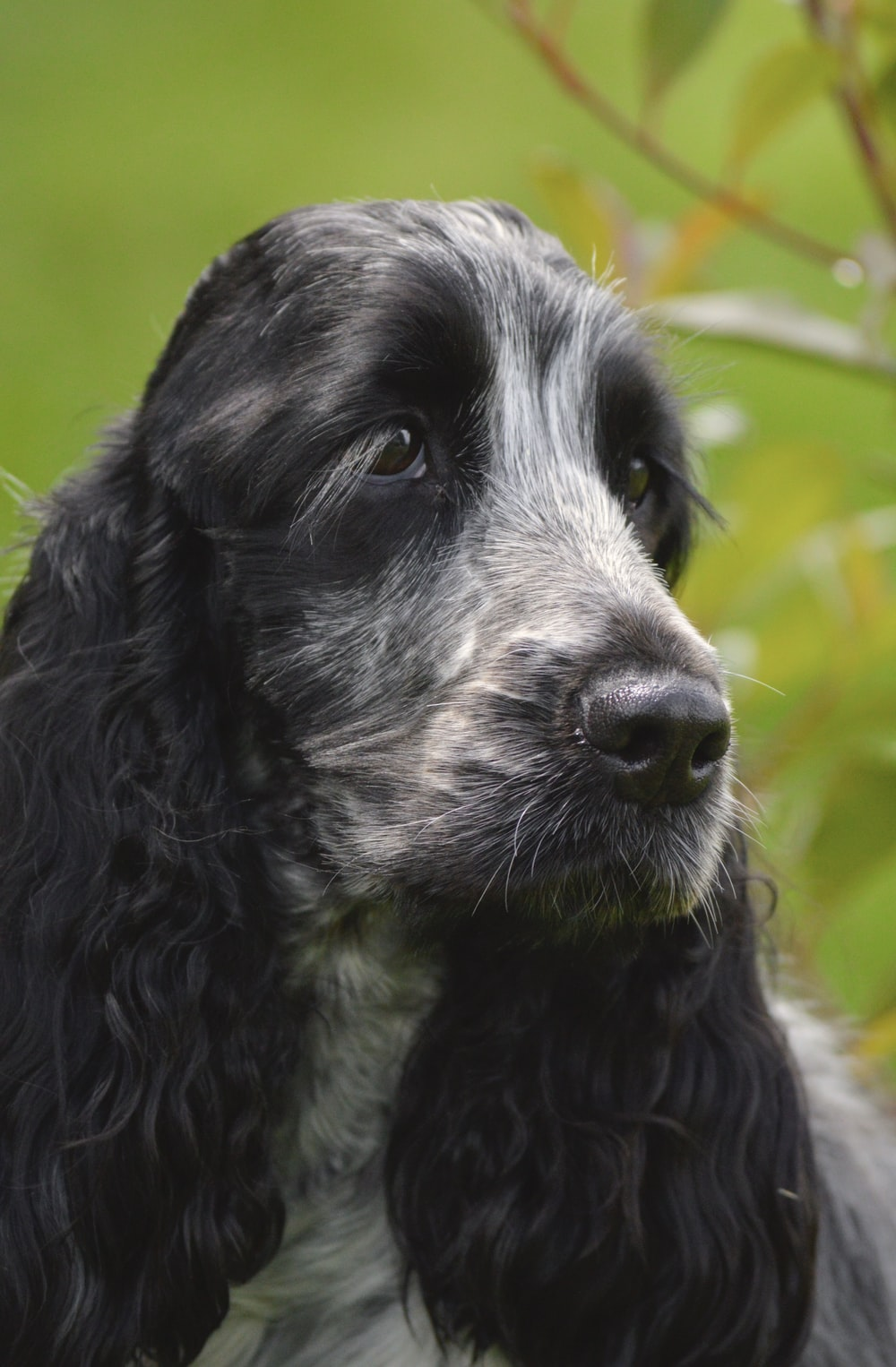 black and white long coated dog
