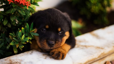 black and tan rottweiler puppy lying on white textile mozambique zoom background