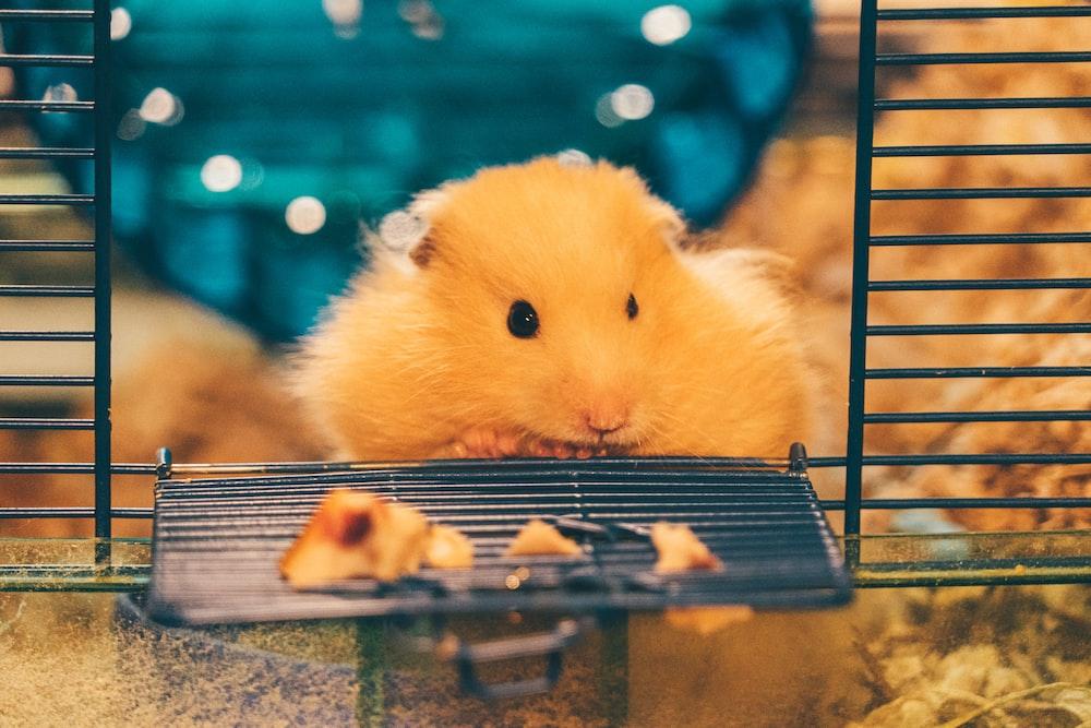yellow hamster on black metal cage