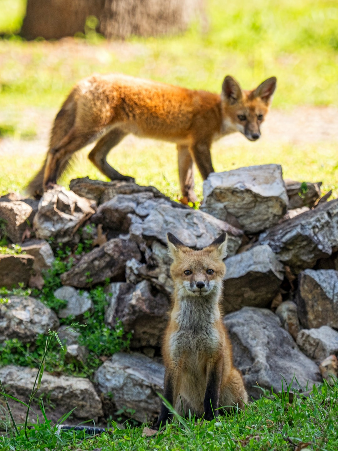 Two fox cubs on rocks