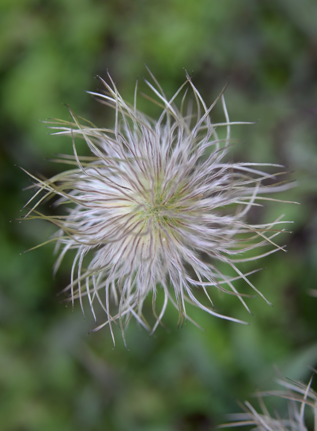 This is the seed of the pasque flower, or Pulsatilla, a violet and gold bell-shaped flower native to the meadows and prairies of Asia, Europe and North America.
