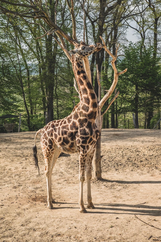 giraffe standing on brown soil during daytime