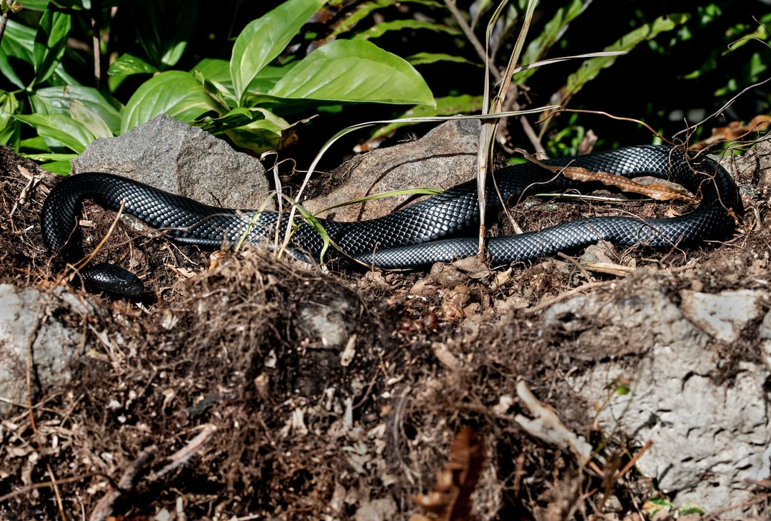 A wild Red-bellied Black Snake enjoys basking in the sun before it goes hunting. Lake Barrine, Australia. Pseudechis porphyriacus.