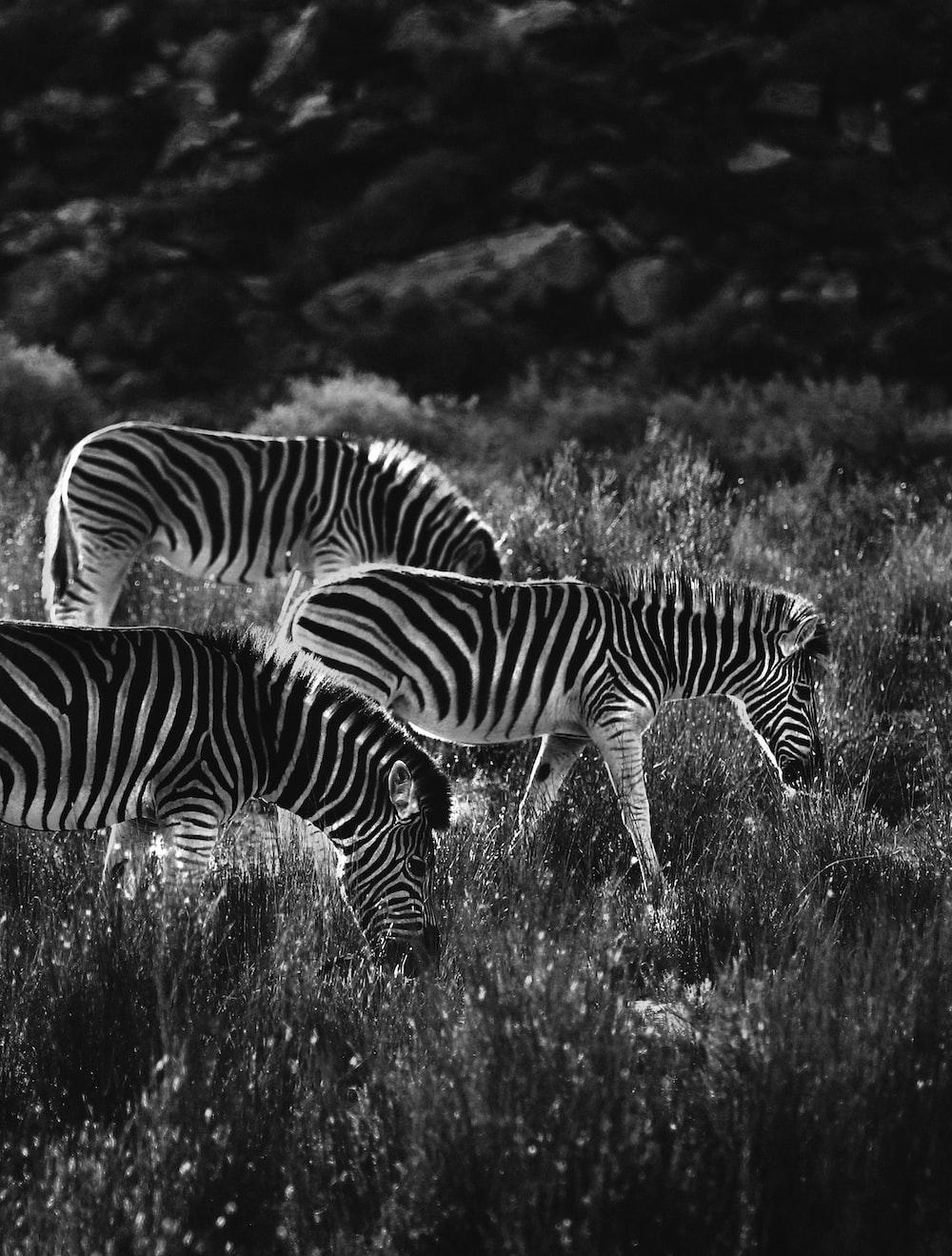 grayscale photo of zebra on grass field