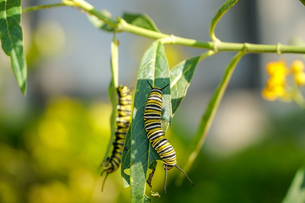 green and black caterpillar on green leaf