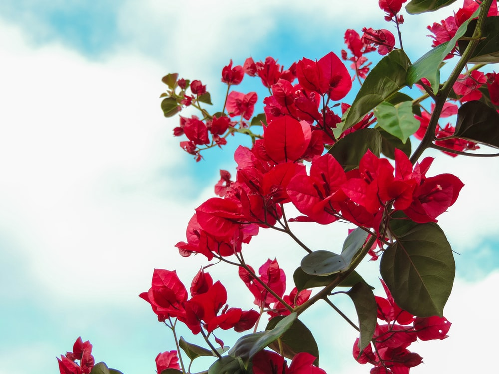 red flowers with green leaves under white clouds and blue sky during daytime