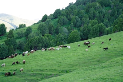 herd of sheep on green grass field during daytime kyrgyzstan teams background