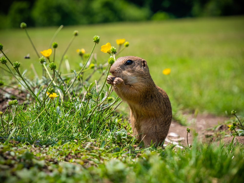 brown rodent on green grass during daytime