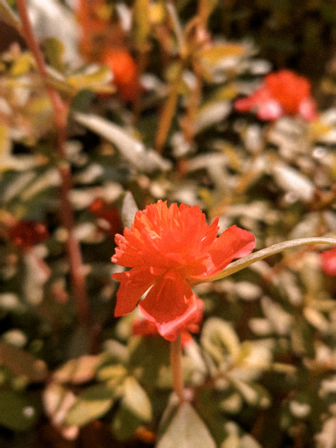 a picture of a red flower