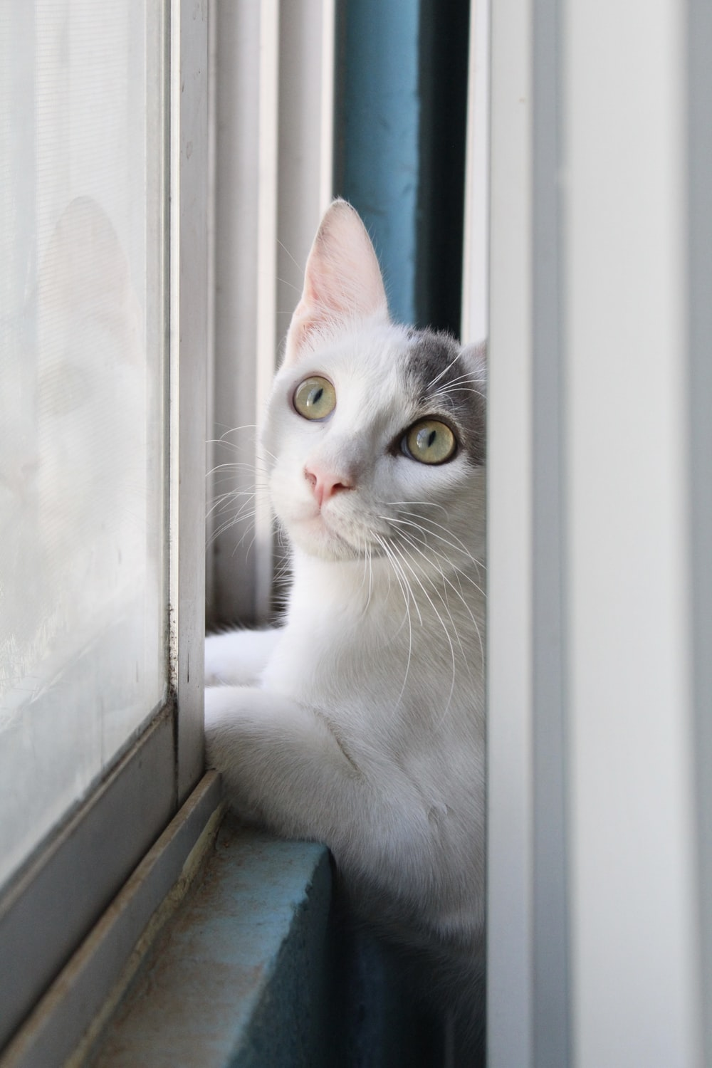 white and grey cat looking out the window