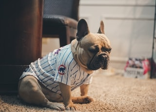 brown pug wearing white and blue stripe shirt