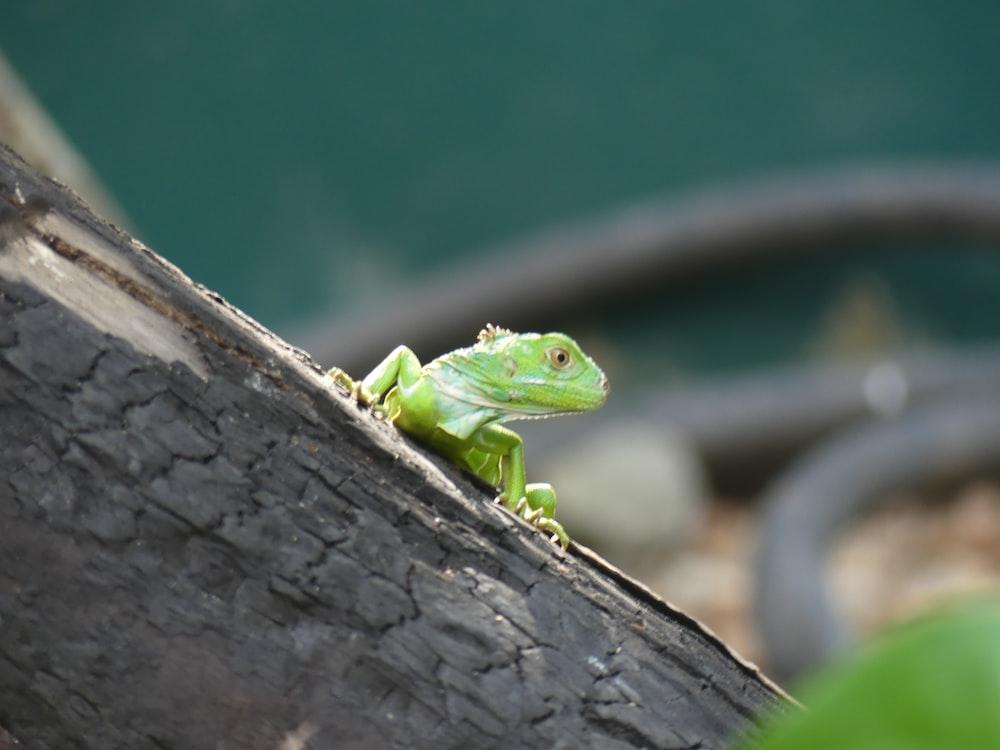 green lizard on brown wooden surface