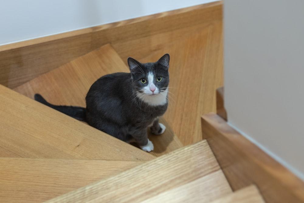 tuxedo cat on brown wooden shelf