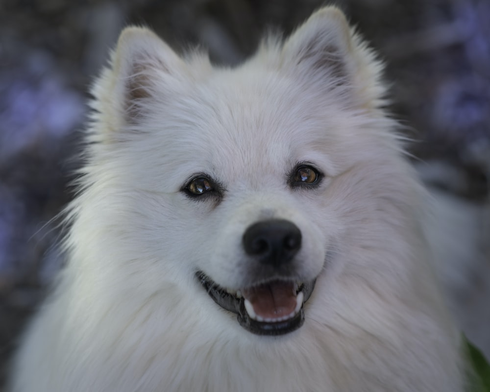 white long coat small dog