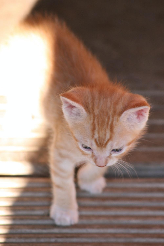 orange tabby kitten on brown wooden floor