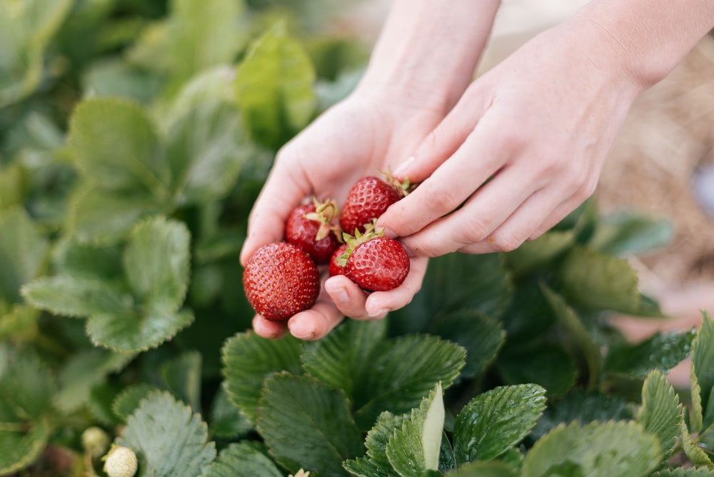person holding red strawberries during daytime