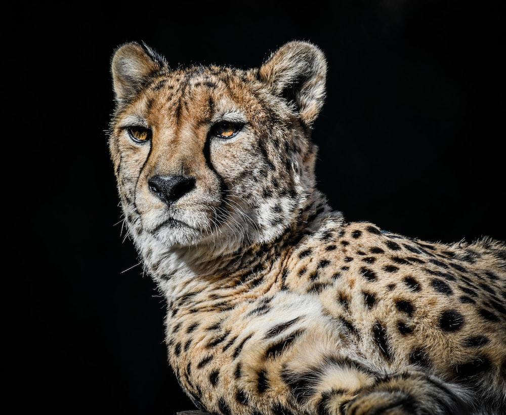 brown and black cheetah illustration
