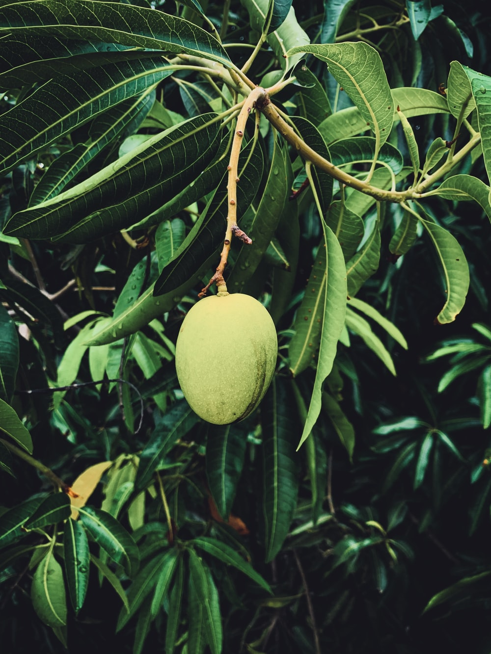 yellow round fruit on green leaves