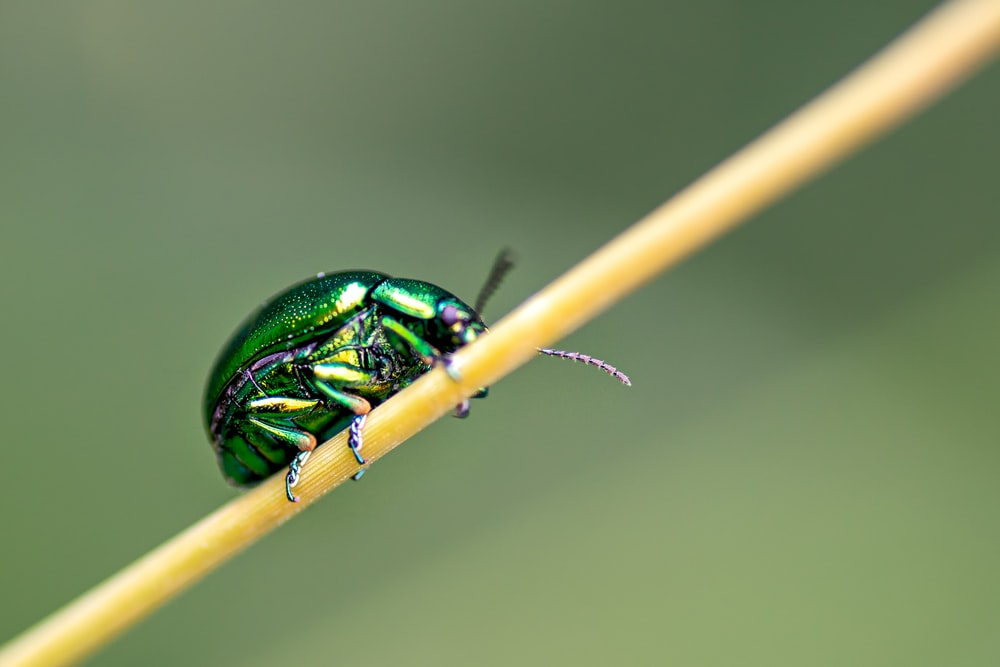 green and black beetle on brown stick in macro photography