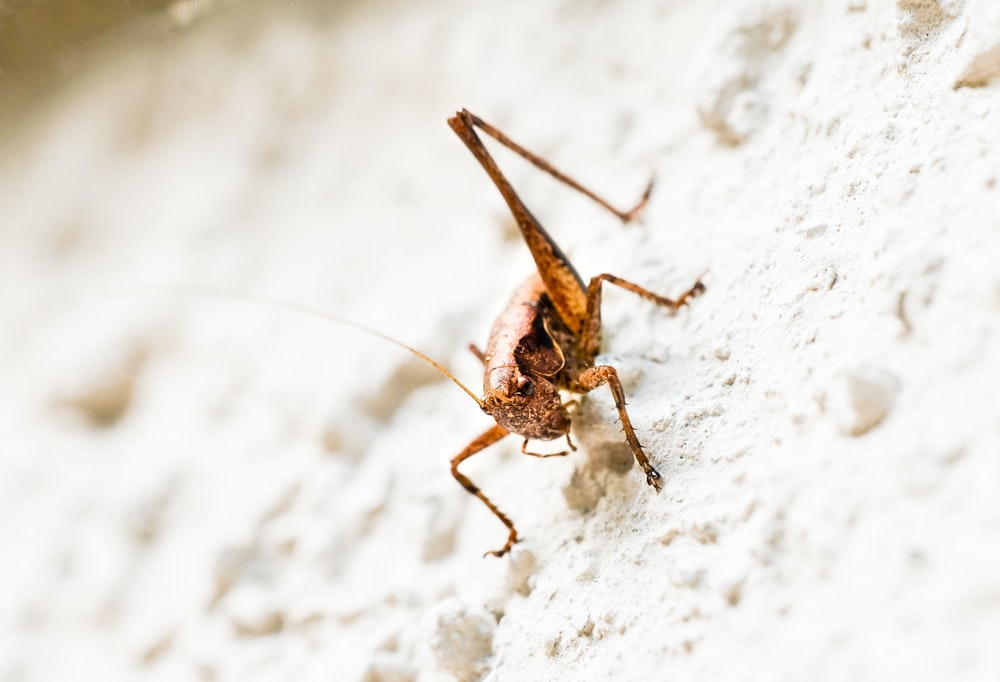 brown grasshopper on white textile