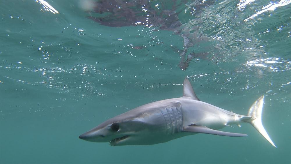 grey shark in the water