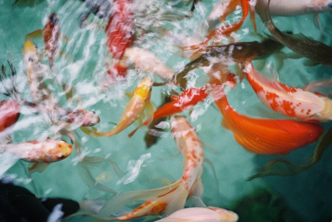 Ada Feng Shui Memiliki Kolam Ikan Koi Di Rumah