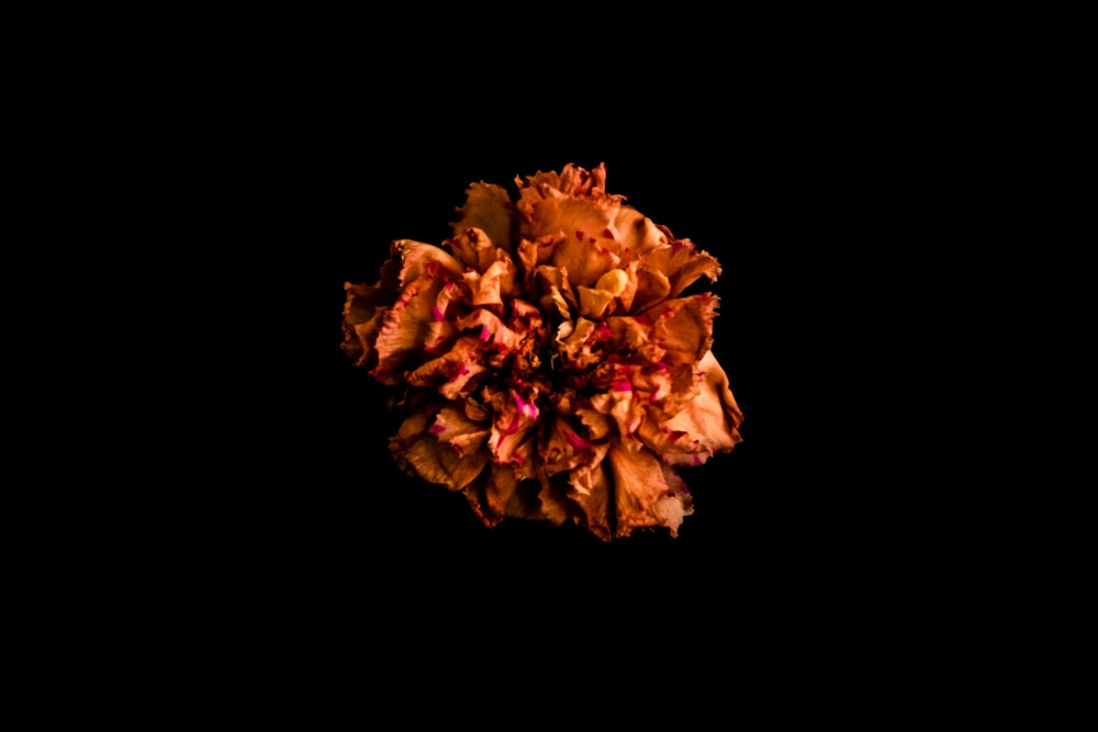 brown and yellow flower in black background