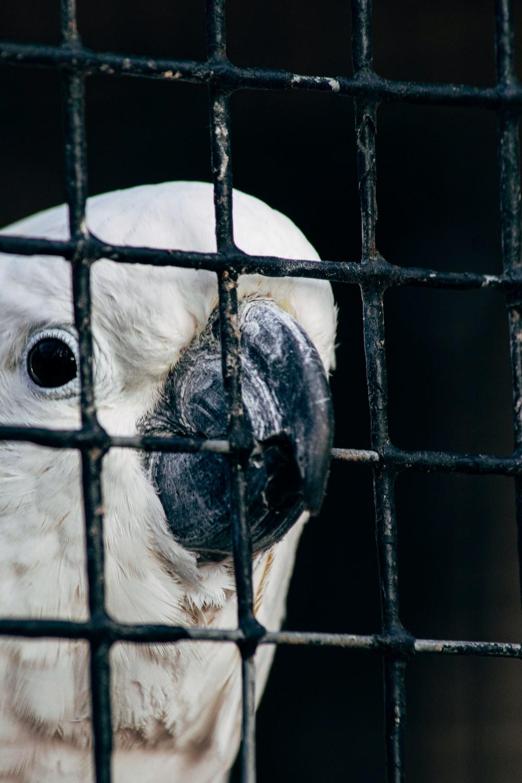 white bird in black cage