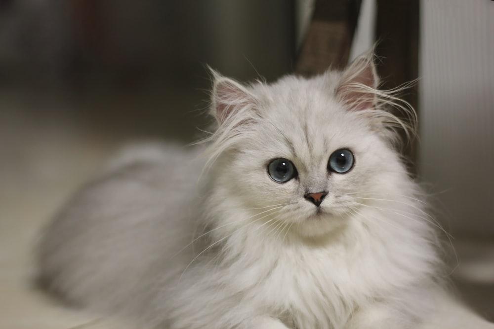 white persian cat in tilt shift lens