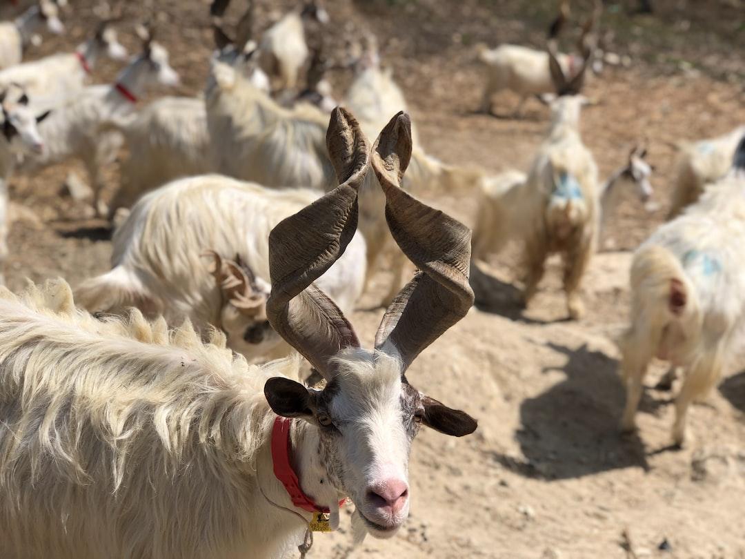 Sicilian girgentana goat