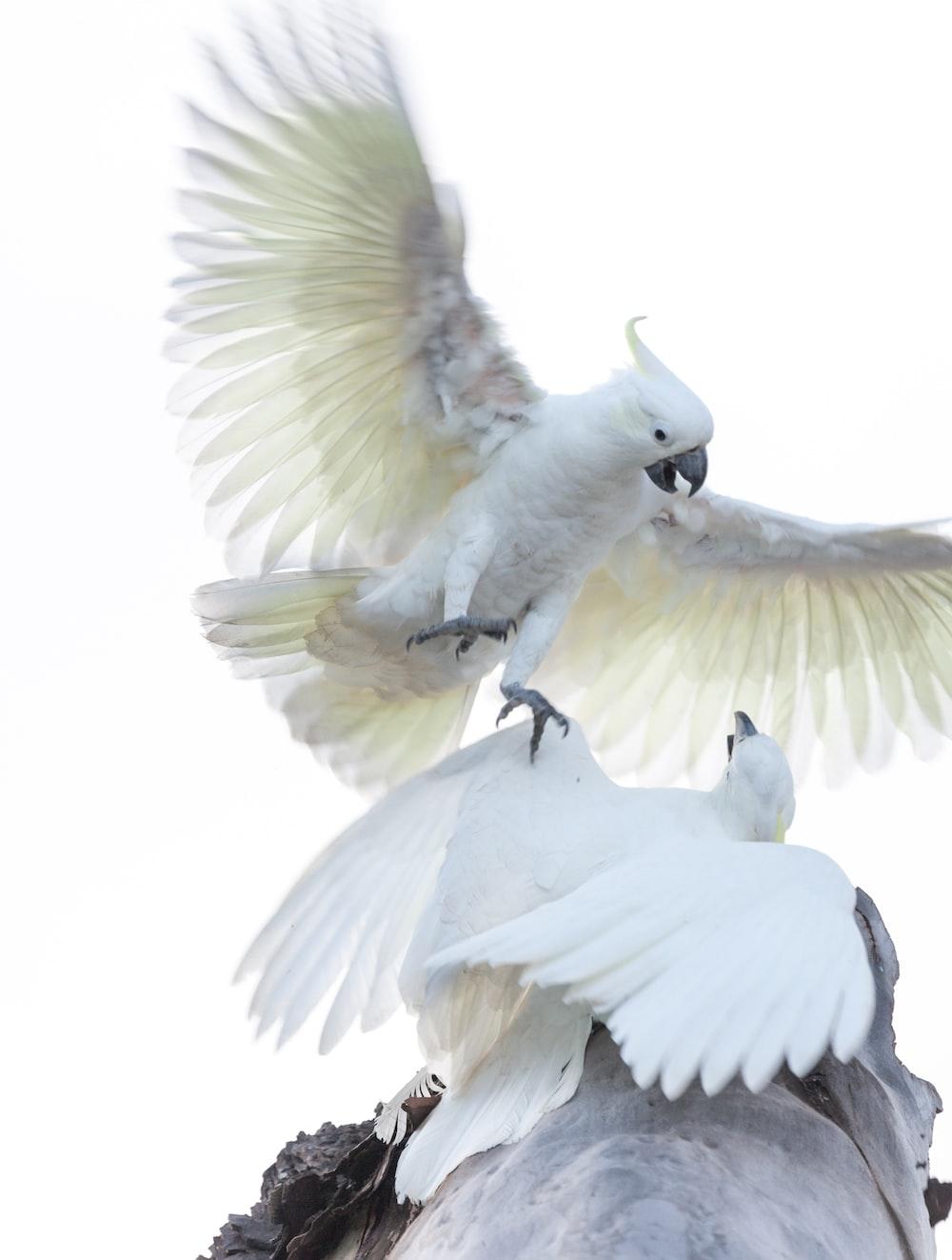 white bird with black beak