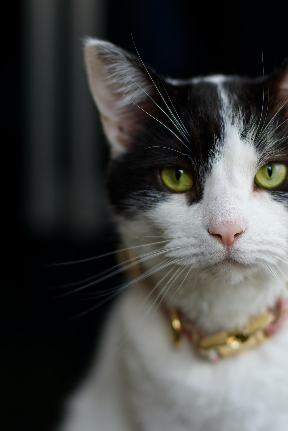 white and black cat with gold necklace