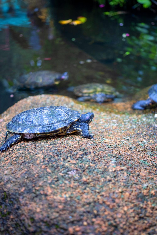 black and brown turtle on brown rock