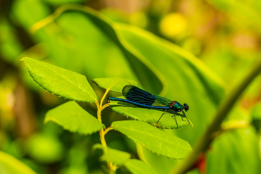 A banded-damoiselle, a type of Damselfly, found near rivers and slow-moving water.
