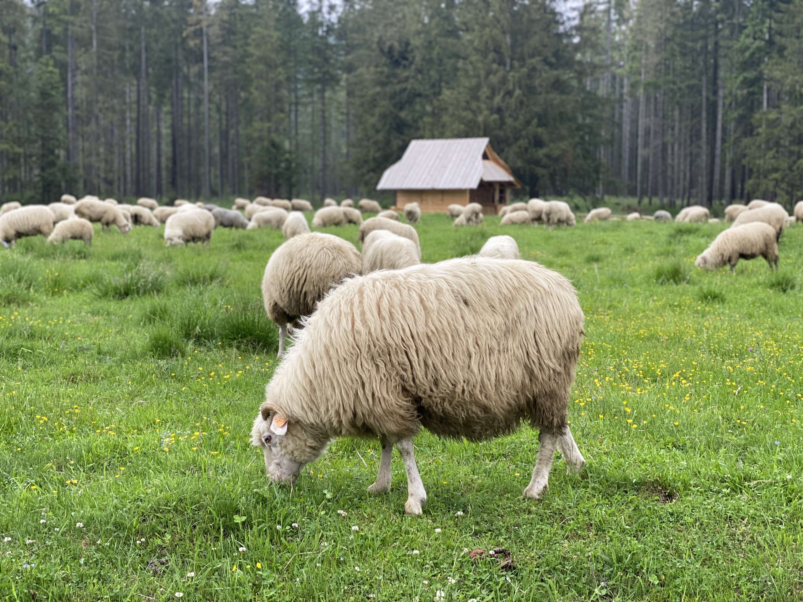 Jesus Says: My Sheep Listen to My Voice