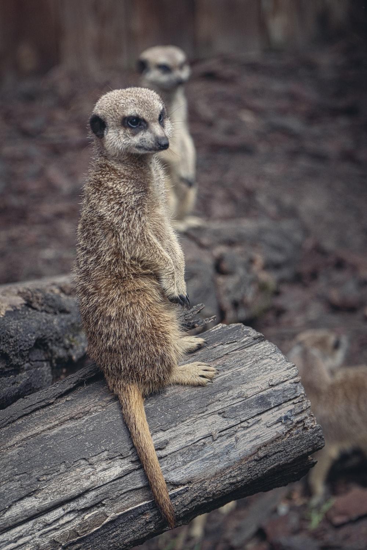 brown meerkat on brown wood log