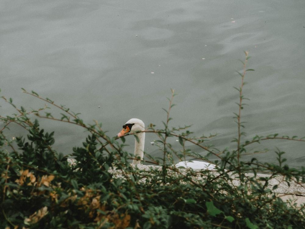 white swan on water during daytime