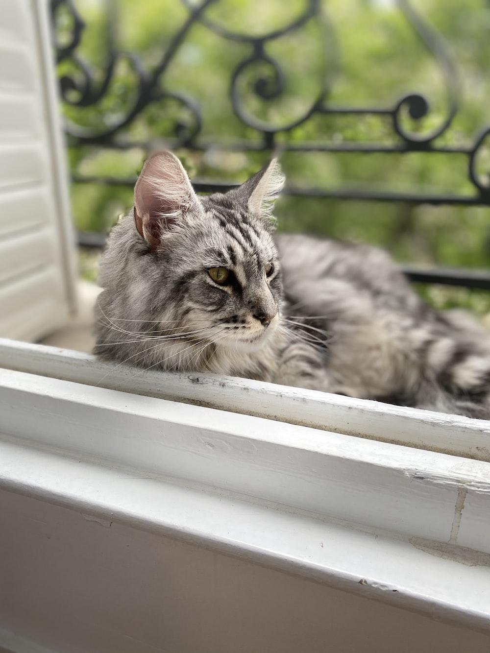 silver tabby cat on window