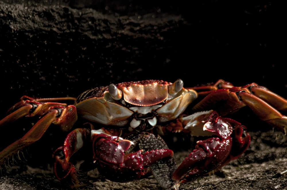 red and brown crab on black sand
