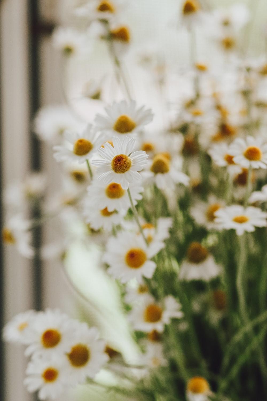 white daisies in tilt shift lens