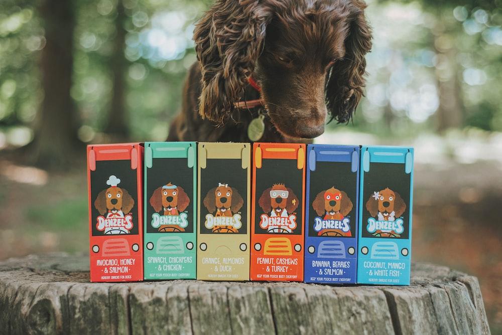 chocolate labrador retriever puppy with blue and orange leash